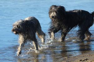 Les chiens à la Plage